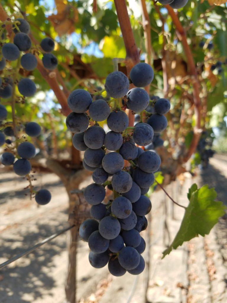 Zinfandel is Lodi's signature grape