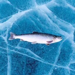 Arctic char in ice